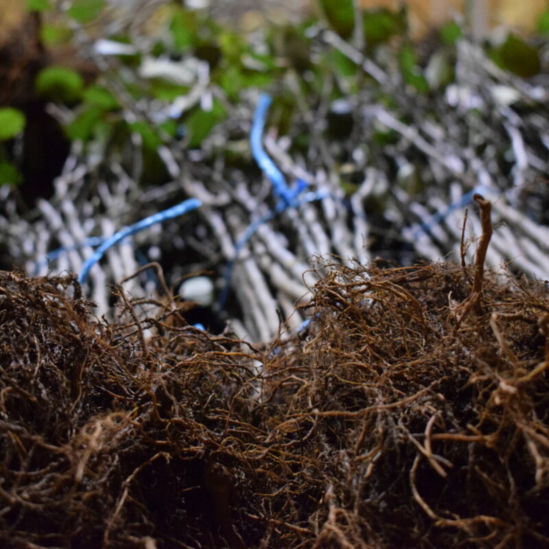 Caring For Bare Root Trees And Rootstocks