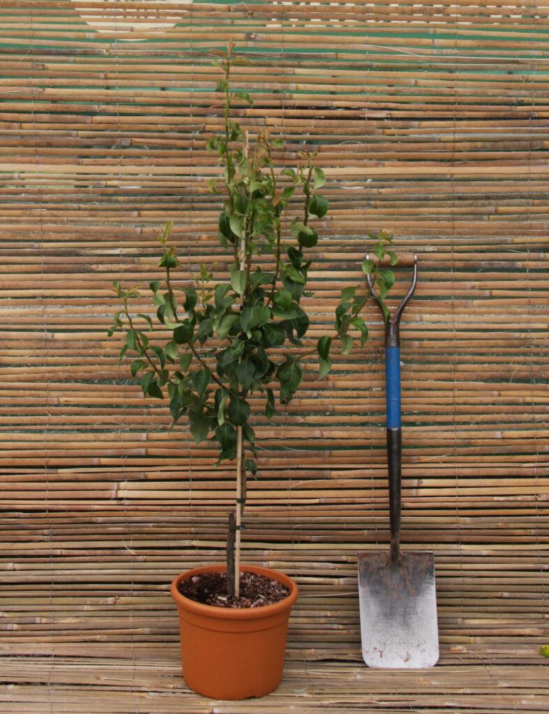 Terracotta Patio Tree