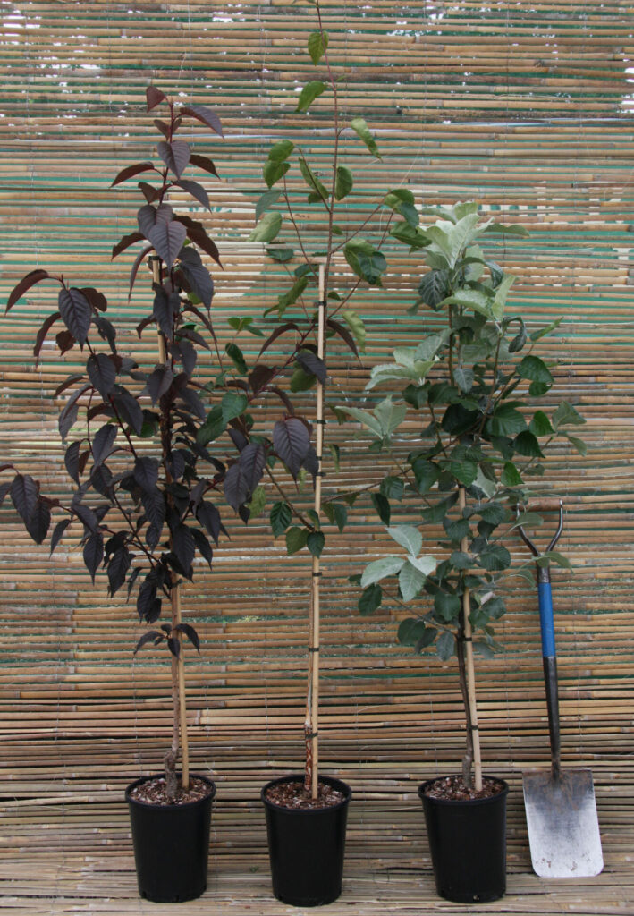Ornamental Container Tree 7 litre