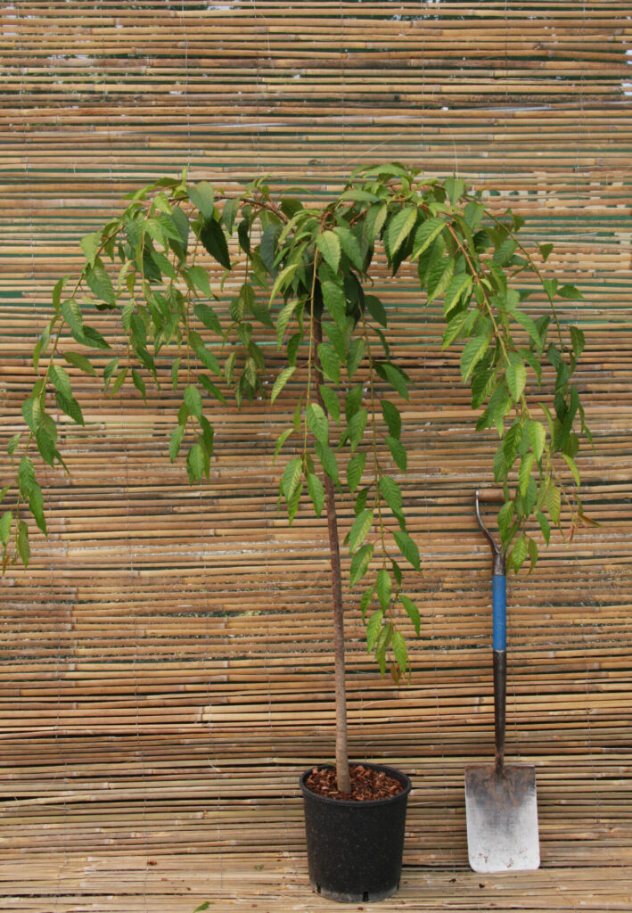 Container Tree 12 litre top worked