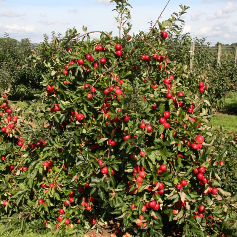 Traditional Standard Orchards 1