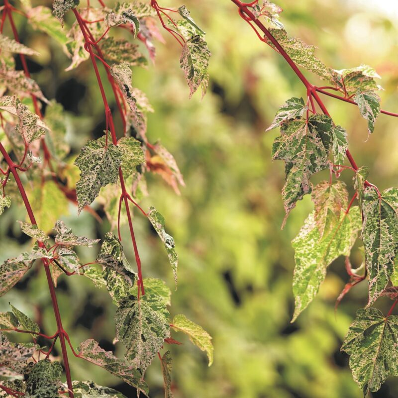 Trees with Variegated Foliage 10