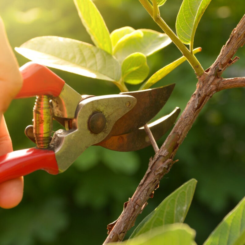 How to Prune Ornamental Trees 9