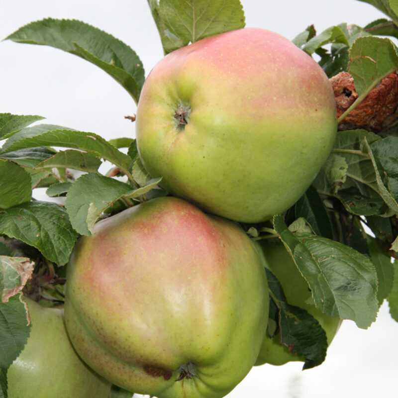 A Brief History of the Apple