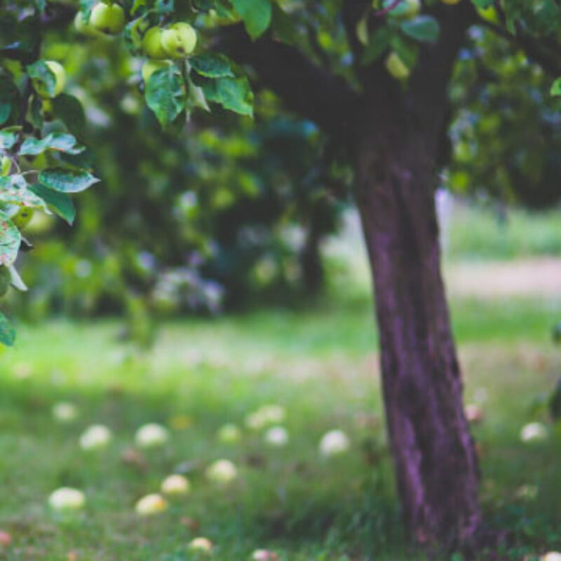 A complete Nursery Service for Top Fruit Growers