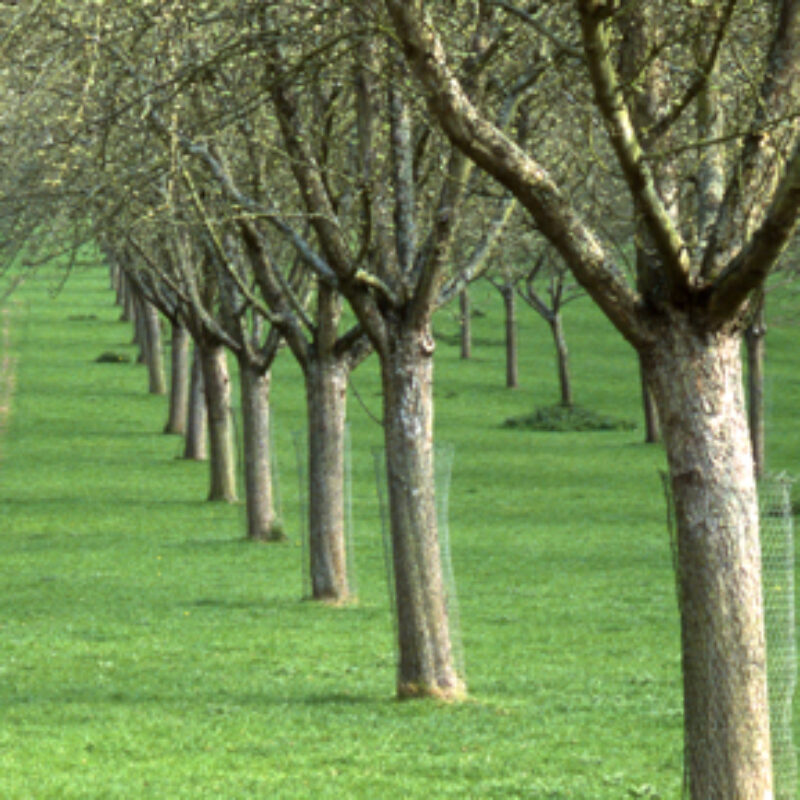 Traditional Standard Orchards