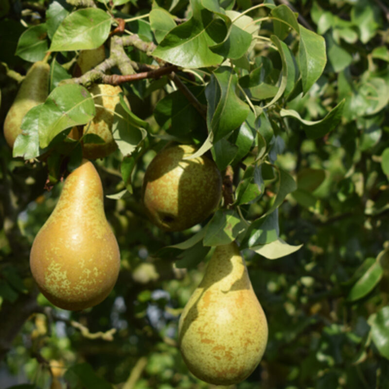 Commercial Apples, Pears and Pollinators