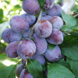 Plums, Gages, Damsons and Mirabelles
