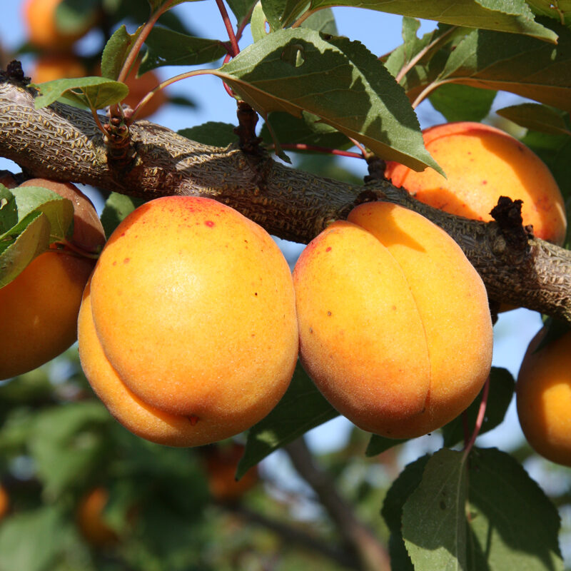 Apricots, Peaches and Nectarines