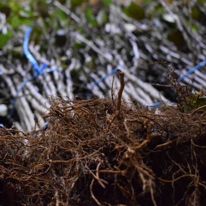 Rootstock, Contract Growing and Grafting Services