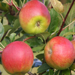 Frank P Matthews growing Orchards for Schools with The Tree Council