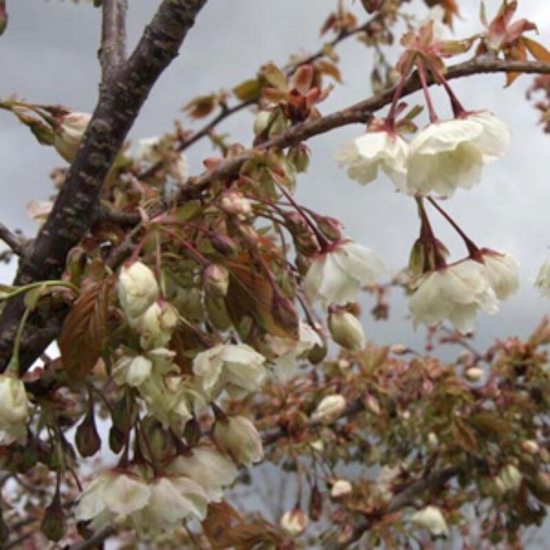 Japanese Flowering Cherries Beginning to Blossom
