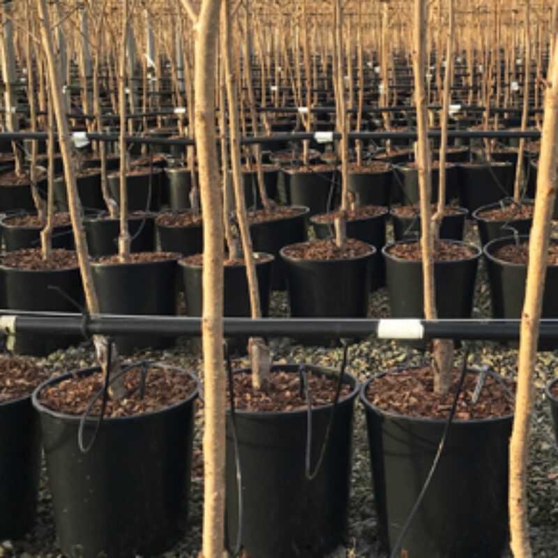 We are now potting trees from the field for autumn 2019