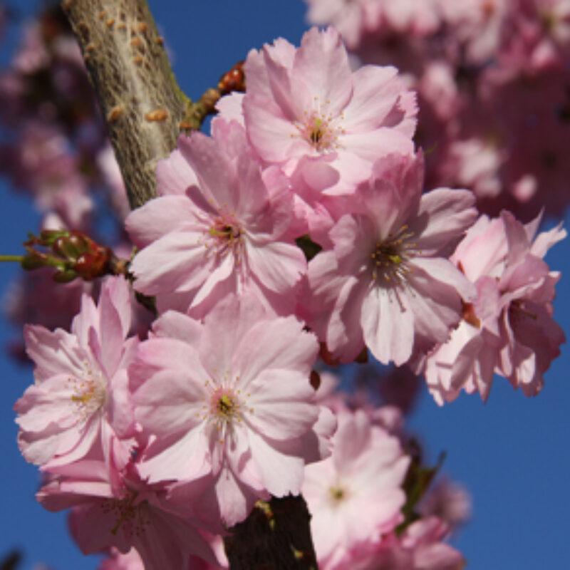 Frank P Matthews growing trees for Japanese Sakura project