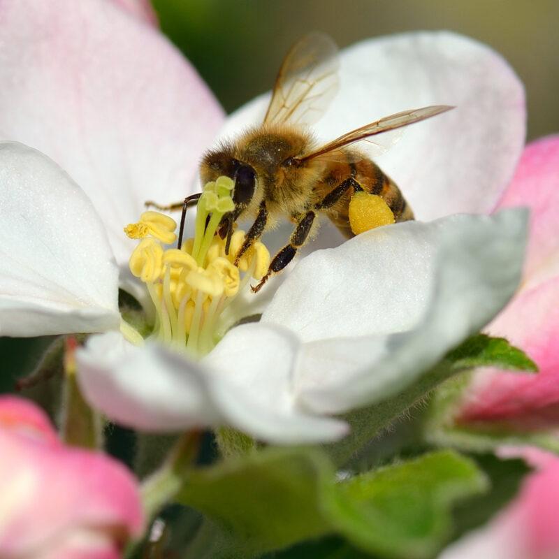 Fruit Tree Pollination
