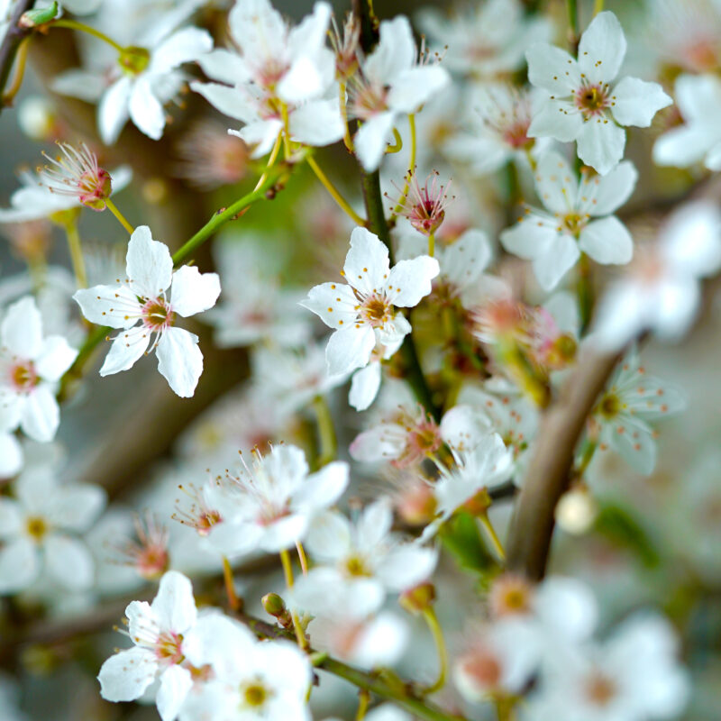 Flowering Periods for Ornamental Trees