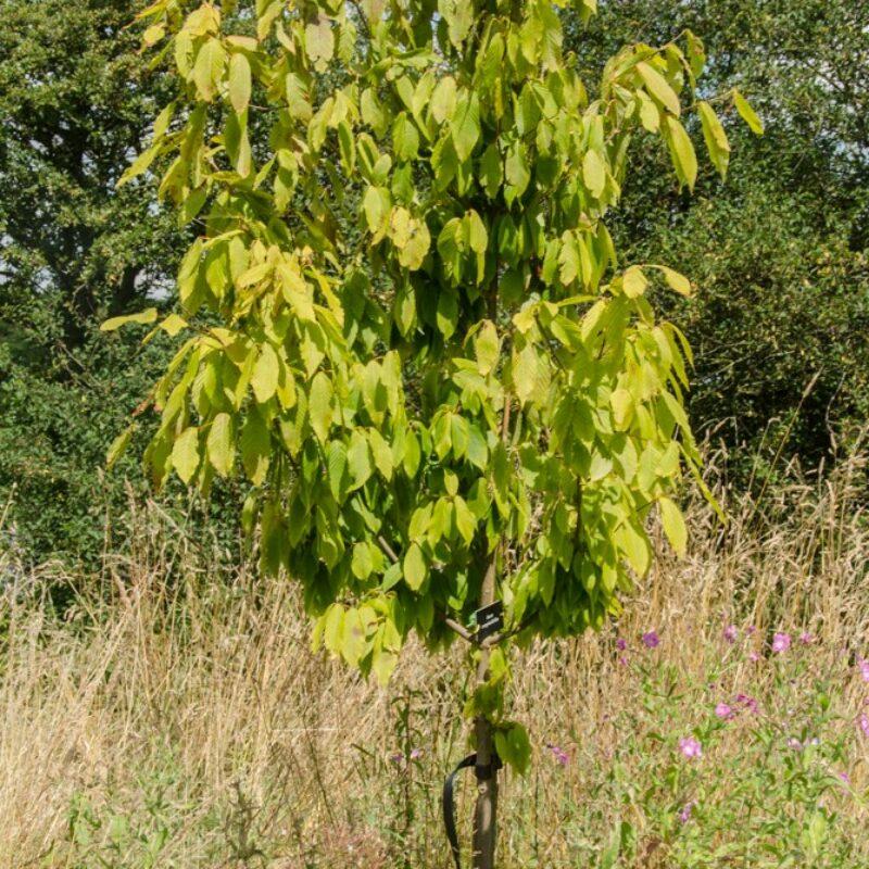 Acer carpinifolium 1