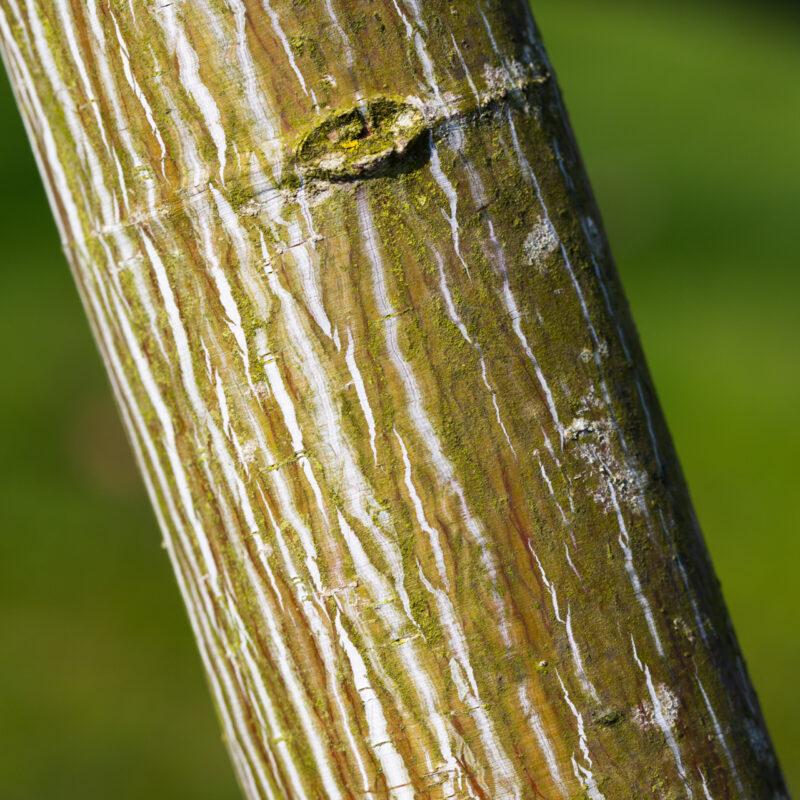 Acer davidii VIPER® 'mindavi' 1