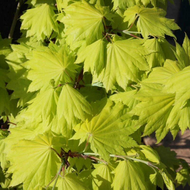 Acer shirasawasnum 'Aureum' 1