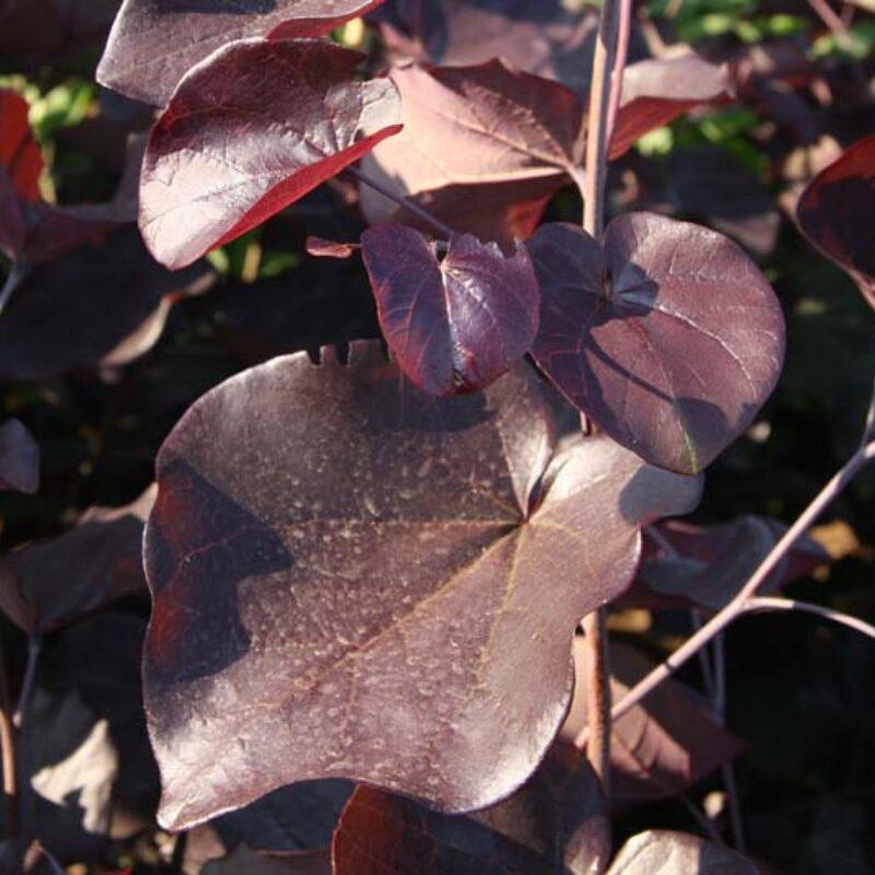 Cercis canadensis 'Merlot' ®