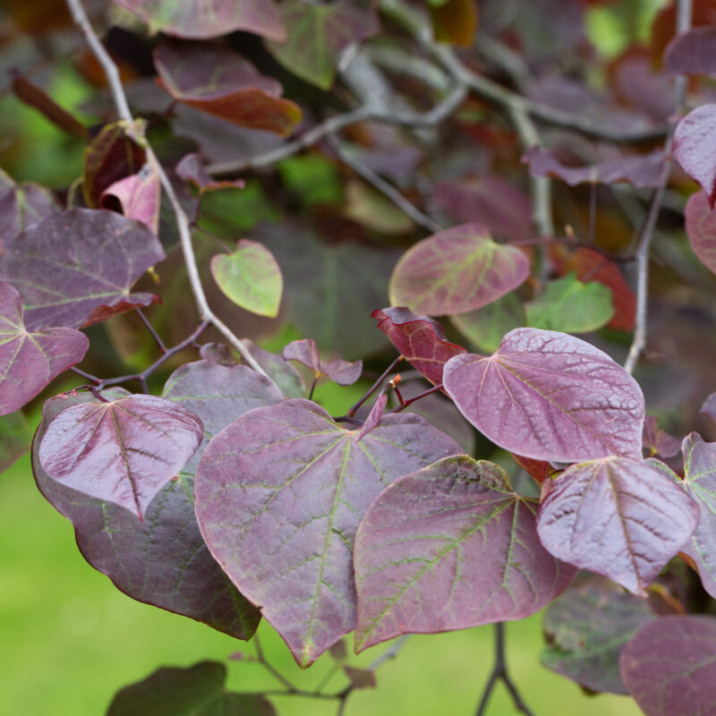 Cercis canadensis Ruby Falls ®