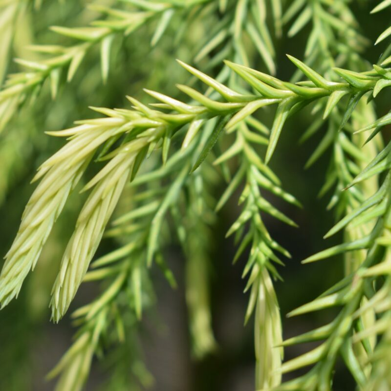 Cryptomeria japonica 'Sekkan-sugi'