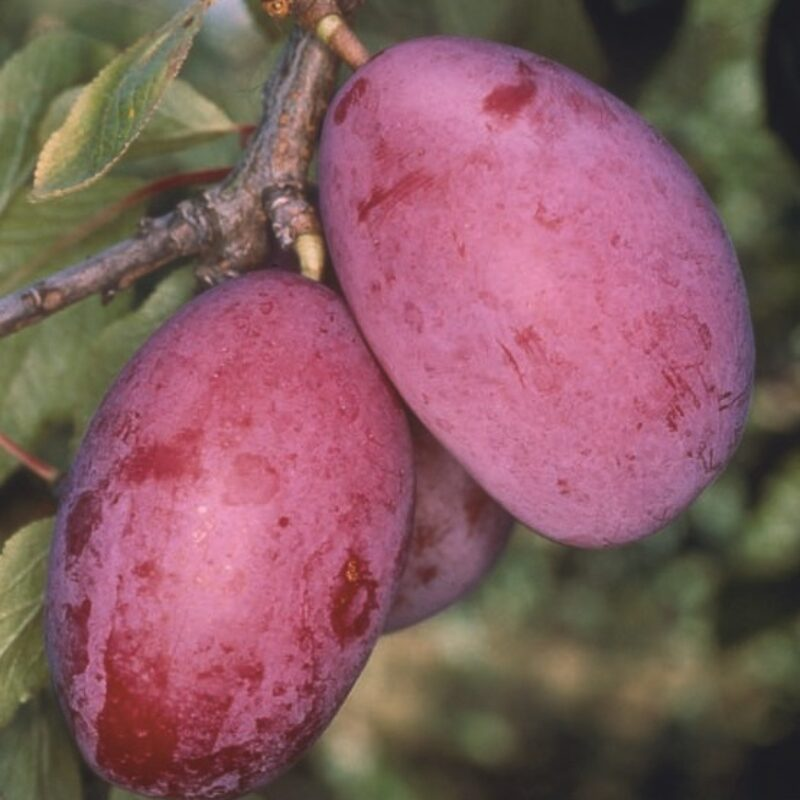 Giant Prune