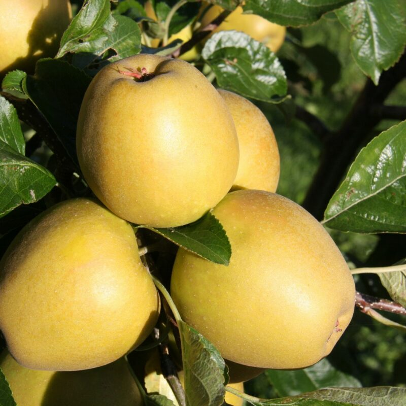 Herefordshire Russet ®