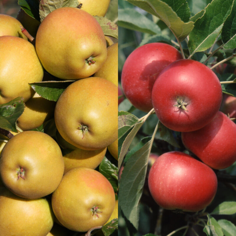 Herefordshire Russet ®/Discovery