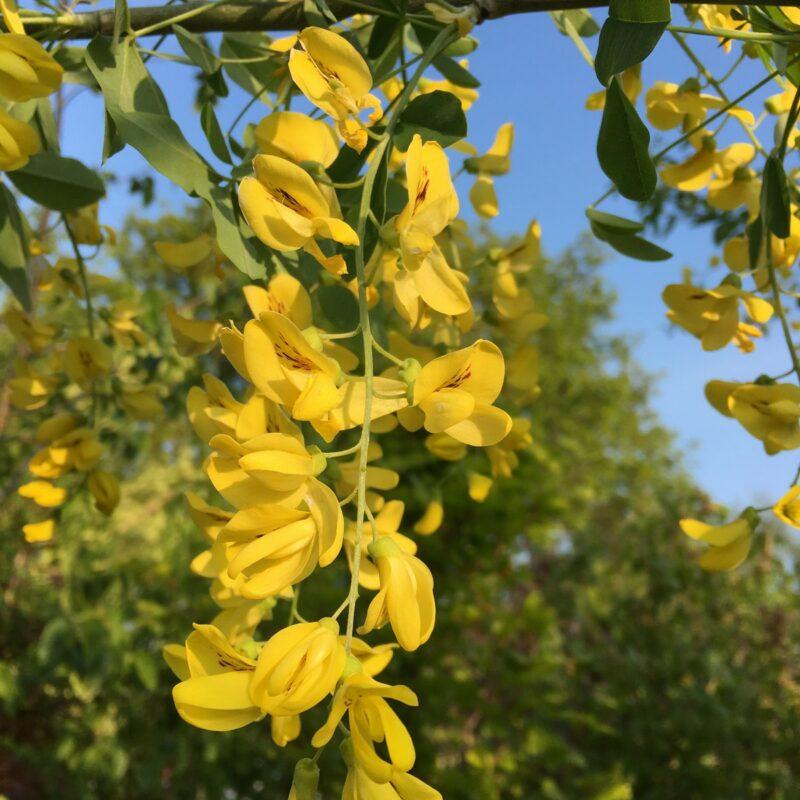 Laburnum anagyroides Yellow Rocket ® 1
