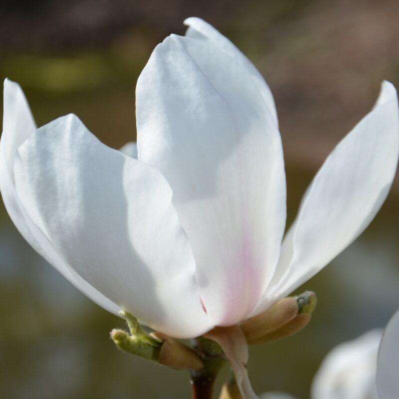 Magnolia 'Asian Artistry' (White)