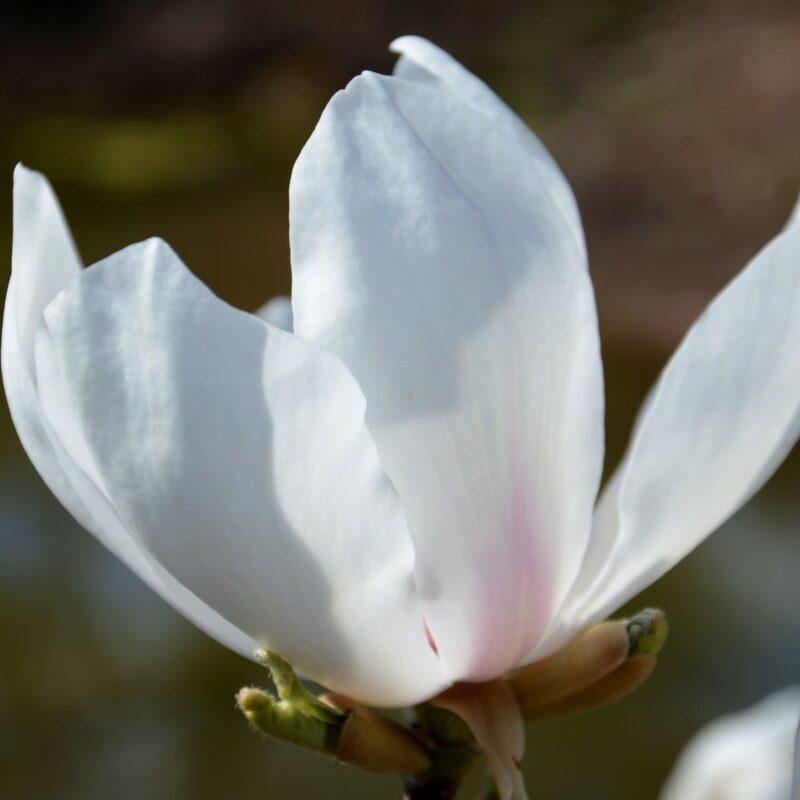 Magnolia 'Avocet' (White)