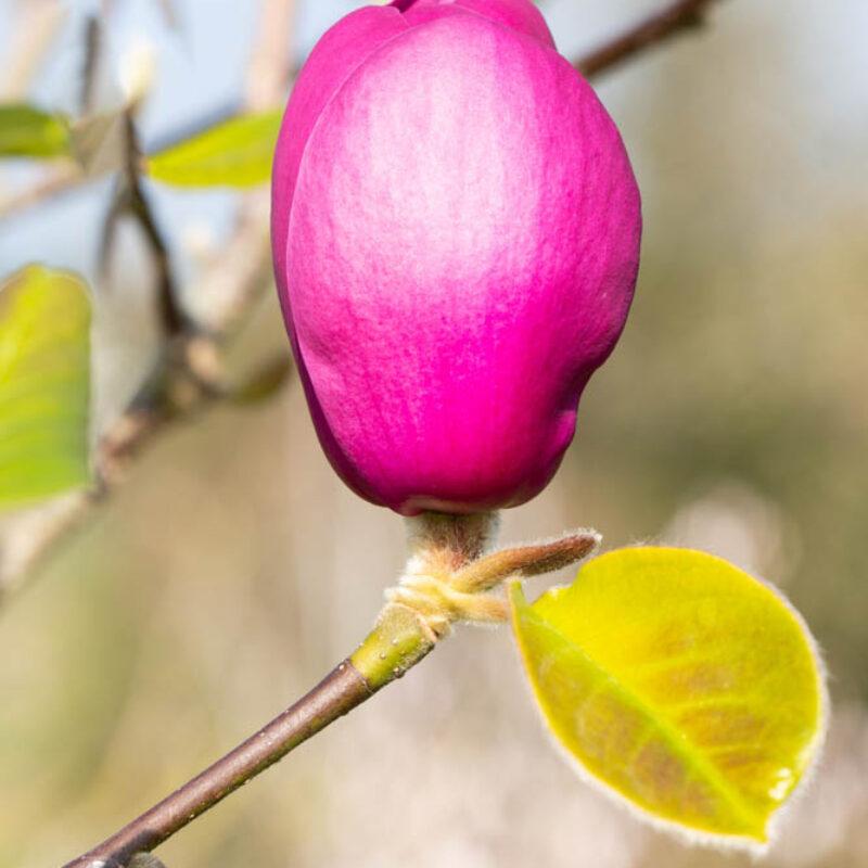 Magnolia 'Black Tulip'® (Dark Purple) 3