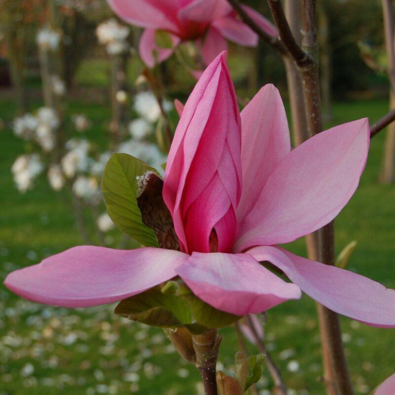 Magnolia 'Blushing Belle' (Light Pink)