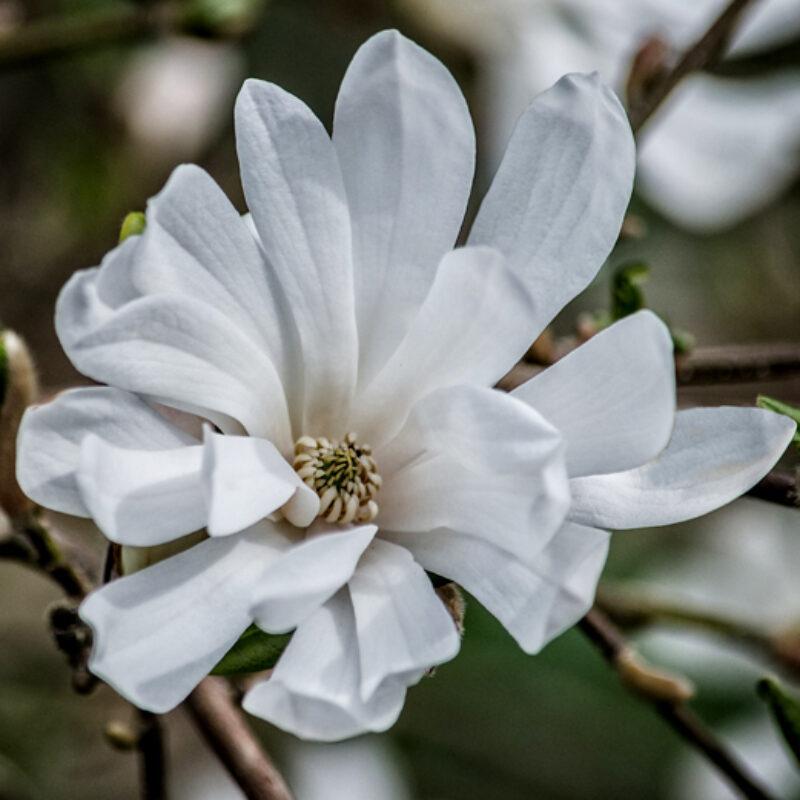 Magnolia 'Centennial' (White)