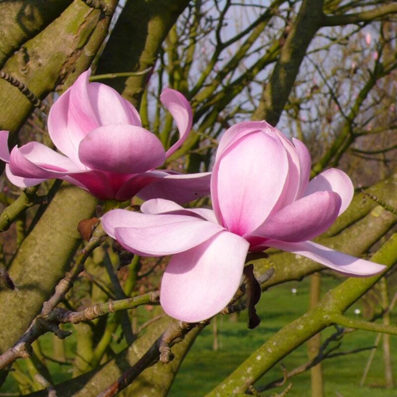 Magnolia 'Copeland Court' (Pink)
