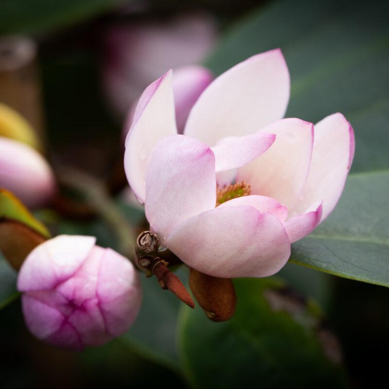 Magnolia Fairy Blush ('MicJur01')™