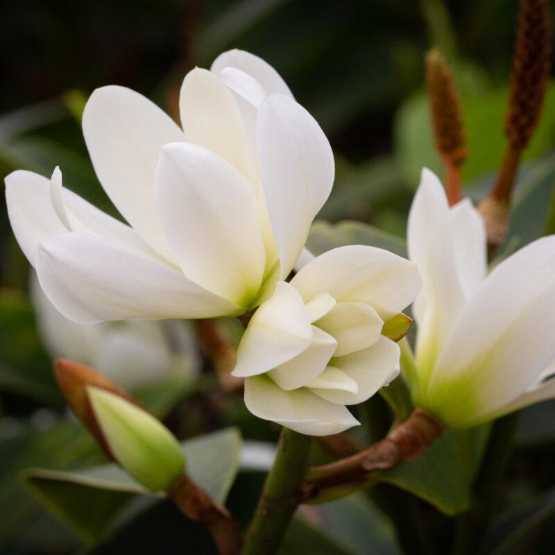 Magnolia Fairy White ('MicJur05')™