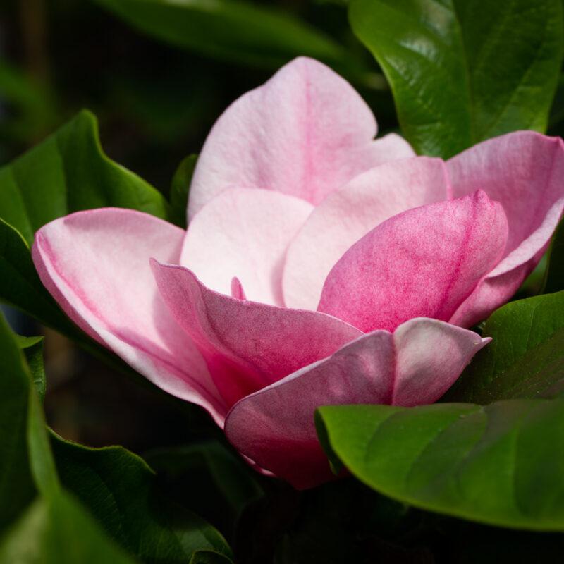Magnolia 'Genie' (Deep Red)