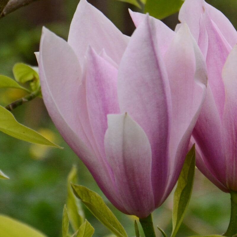 Magnolia 'Just Jean' (Light Pink)