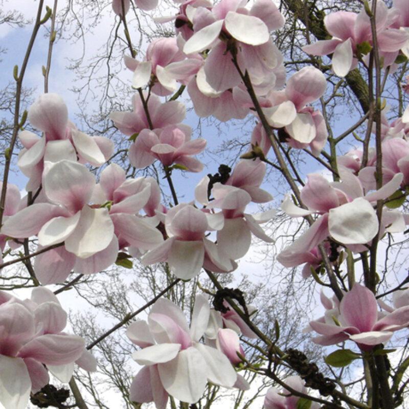 Magnolia 'Laura Saylor' (Light Pink)