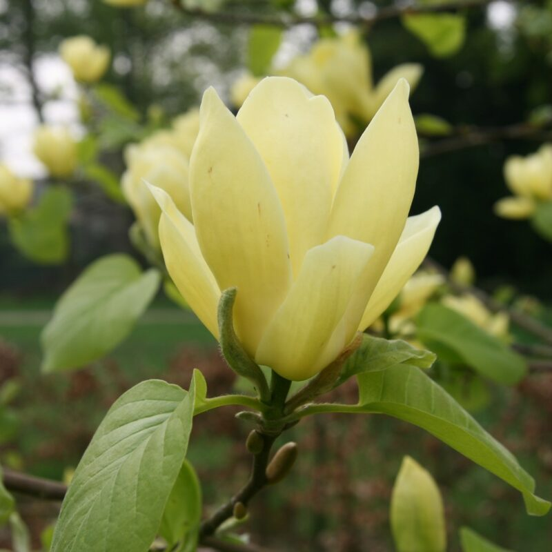Magnolia 'Lois' (Cream Yellow)