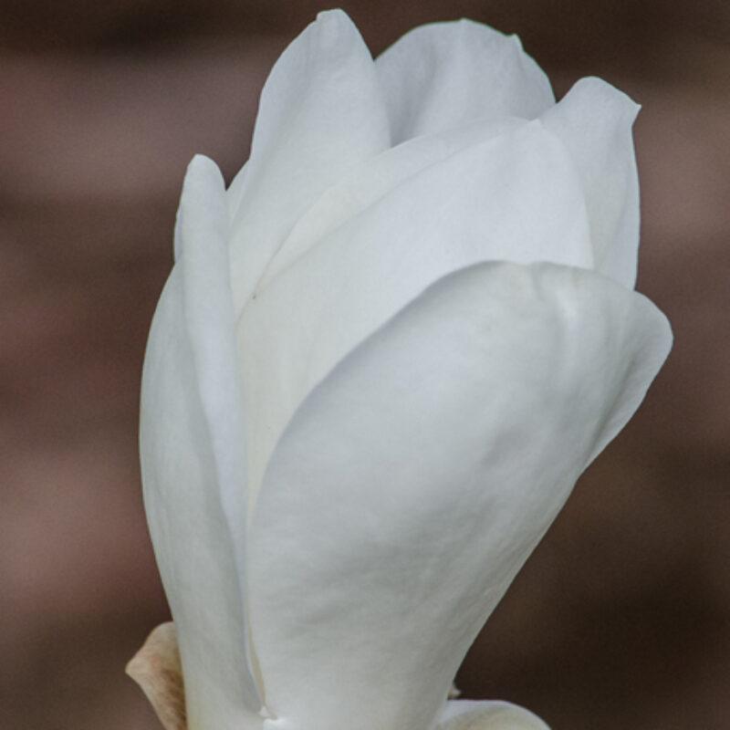 Magnolia 'Lu Shan' (White)