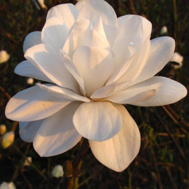 Magnolia 'Mags Pirouette' (White)