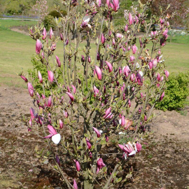 Magnolia 'March-Till-Frost' (Light Pink) 1