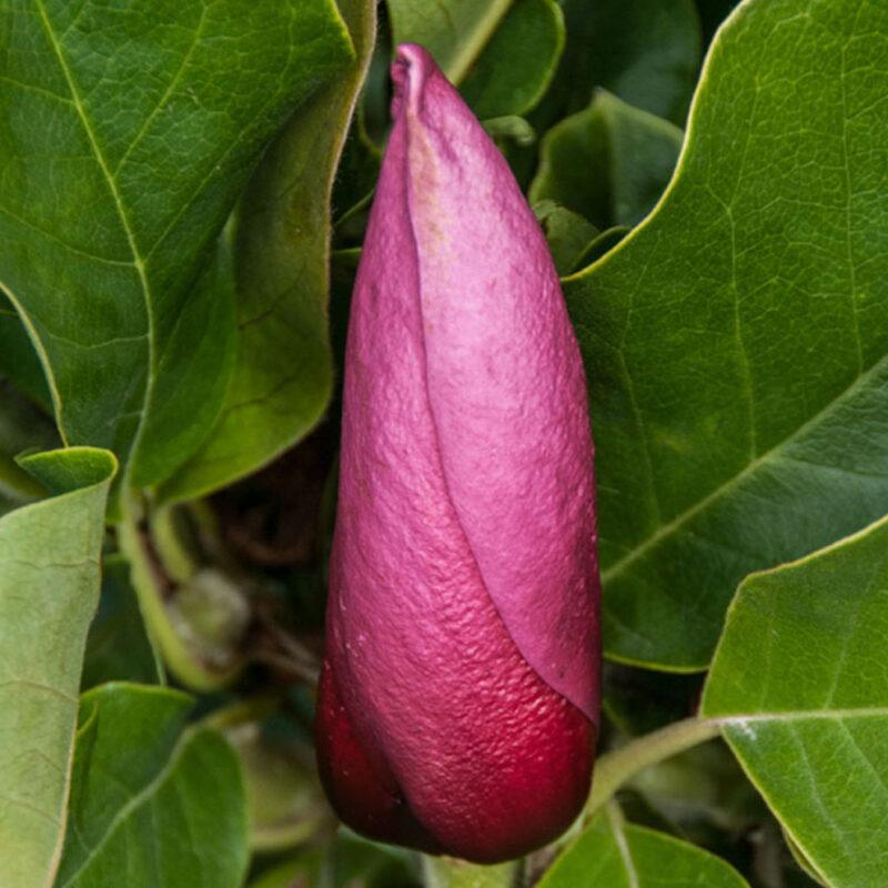Magnolia 'March-Till-Frost' (Light Pink)