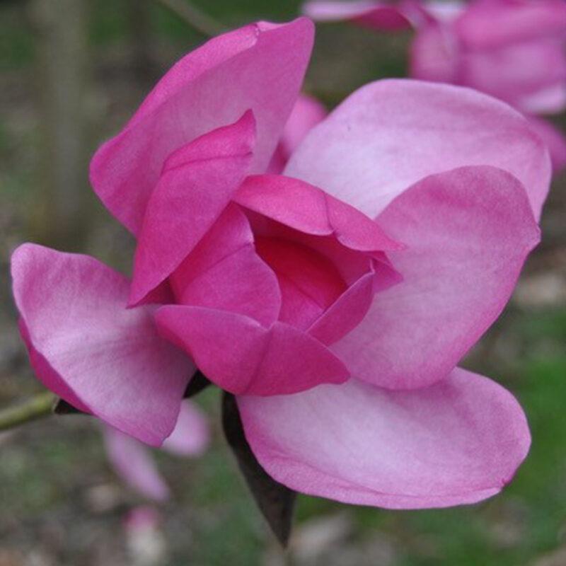 Magnolia 'Premier Cru' (Deep Rose)