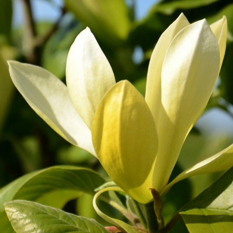 Magnolia 'Solar Flair' (Deep Yellow)