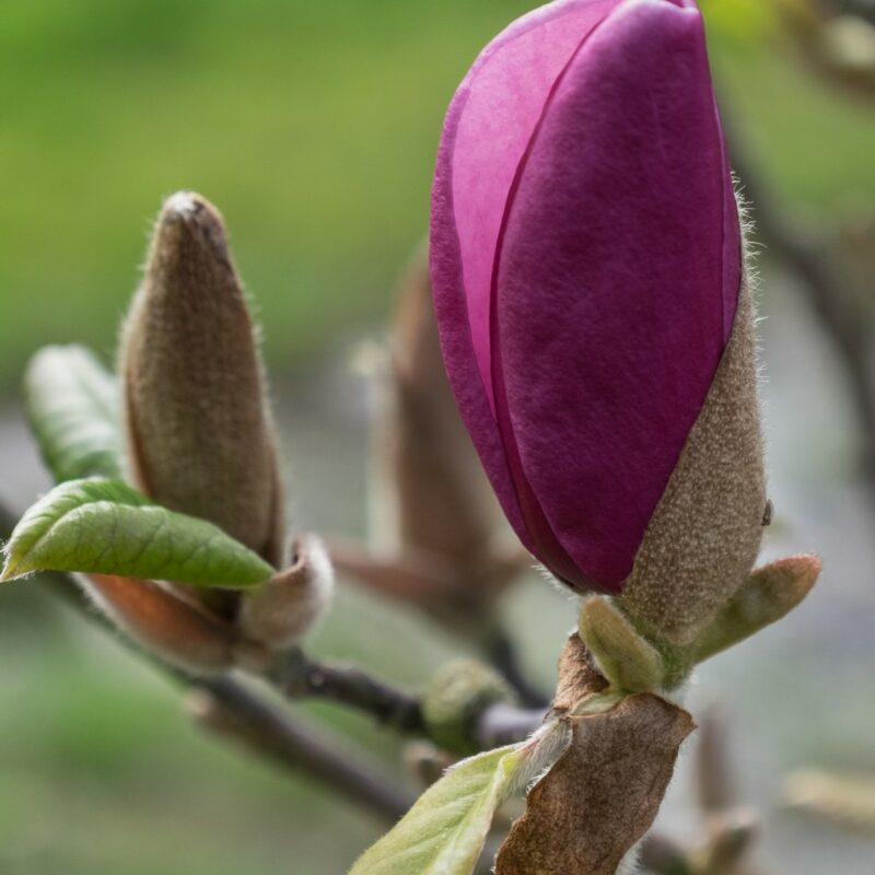 Magnolia 'Sweet Merlot' (Deep Red)