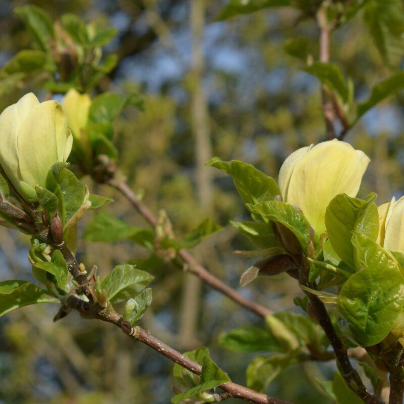 Magnolia 'Yellow Bird' (Yellow) 1